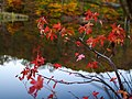 Autumn-red-maple-leaves-lake-reflection - West Virginia - ForestWander.jpg