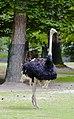 Avestruz (Struthio camelus), Tierpark Hellabrunn, Múnich, Alemania, 2012-06-17, DD 01.JPG