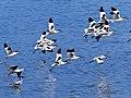 Avocets Take Flight (44750702211).jpg