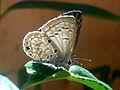 Azanus jesous (African babul blue) at Madhurawada 01.jpg