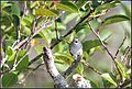 BLUE-GRAY GNATCATCHER (7698914938).jpg
