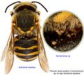 BMOC-96-0916-229 Anthidium diadema Sennertionyx sp.jpg