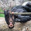 Baby Chimp (Explored) - Flickr - mdalmuld.jpg