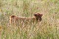 Baby hairy coo (15250906765).jpg