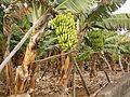 Banana plantation (San Andrés) 04 ies.jpg