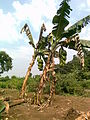 Banana trees in Chinawal.jpg