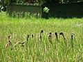 Bande de canards dans les rizières (Ubud) - panoramio.jpg
