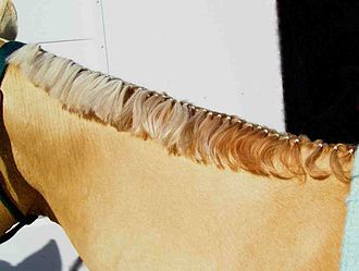 Mane (horse) - A banded mane.  Note that mane also has been pulled and thinned prior to banding