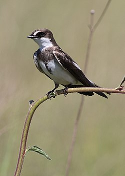 Banded martin, or banded sand martin, Riparia cincta, at Rietvlei Nature Reserve, Gauteng, South Africa (31326868871).jpg
