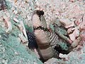 Banded shrimpgoby (Cryptocentrus cinctus) (47058270322).jpg