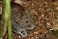 Bank Vole - Lackford Lakes (36311365303).jpg