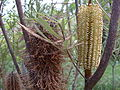 Banksia flower - old and new (3412590255).jpg
