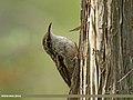 Bar-tailed Tree-creeper (Certhia himalayana) (28491006113).jpg