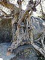 Barabar Caves - Tree and Rock (9227447584).jpg