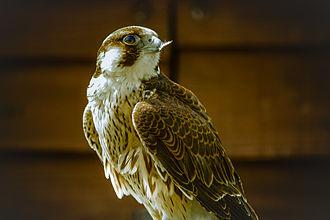 Barbary falcon - Barbary falcon