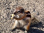 Barbary Ground Squirrel, Playa del Jandia.jpg