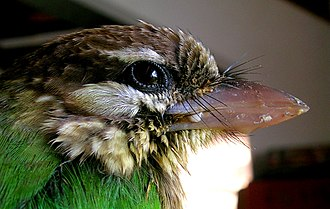 Feather - Rictal bristles of a white-cheeked barbet