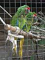 Barcelona-Zoo-Guacamayo de frente roja (Ara rubrogenys).jpg
