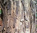 Bark of Acacia catechu.jpg