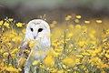 Barn Owl, Manchester area, UK, by Andy Chilton 2016-07-06 (Unsplash).jpg