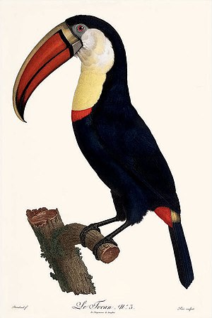 Jacques Barraband - Le Tocan (toucan) by Jacques Barraband
