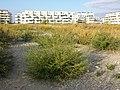 Bassia scoparia subsp. densiflora sl30.jpg