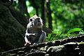 Batiste PANNETIER - Singe dans la jungle (LAL).jpg