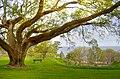 Bayview Oak - panoramio.jpg