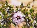 Beaufortia schaueri (flowers).JPG