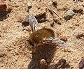 Beefly Bombyliidae (32606713553).jpg