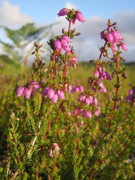 File:Bell heather (Erica cinerea) on dry heath, New Forest - geograph.org.uk - 468937.jpg