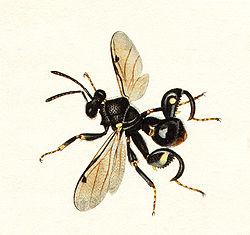 definition of chalcididae