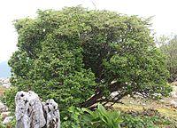 Berberis thunbergii (tree).jpg