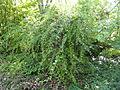 Berberis vernae - Botanischer Garten, Frankfurt am Main - DSC03272.JPG