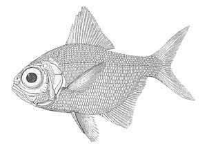 Alfonsino - 1880 drawing of the alfonsino