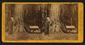 Big Tree (75 ft. circum) Mariposa Grove, - Mariposa Co, by John P. Soule.png
