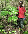 Big leaf of Jatropha.jpg