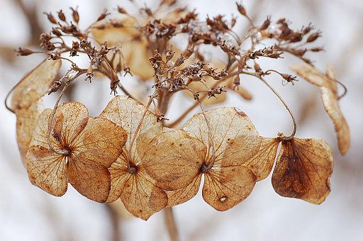 Bigleaf Hydrangea Hydrangea macrophylla 'Tokyo Delight' Flowers 3008px