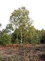 Birch trees - geograph.org.uk - 1018349.jpg