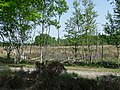 Birches in spring on the moor of Fchterloerveen.jpg