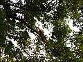 Bird White-throated Brown Hornbill Anorrhinus austeni IMG 9075 08.jpg