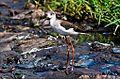 Birds MG 8546 (6512014907).jpg