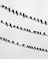 Birds on the wire - crop left.jpg