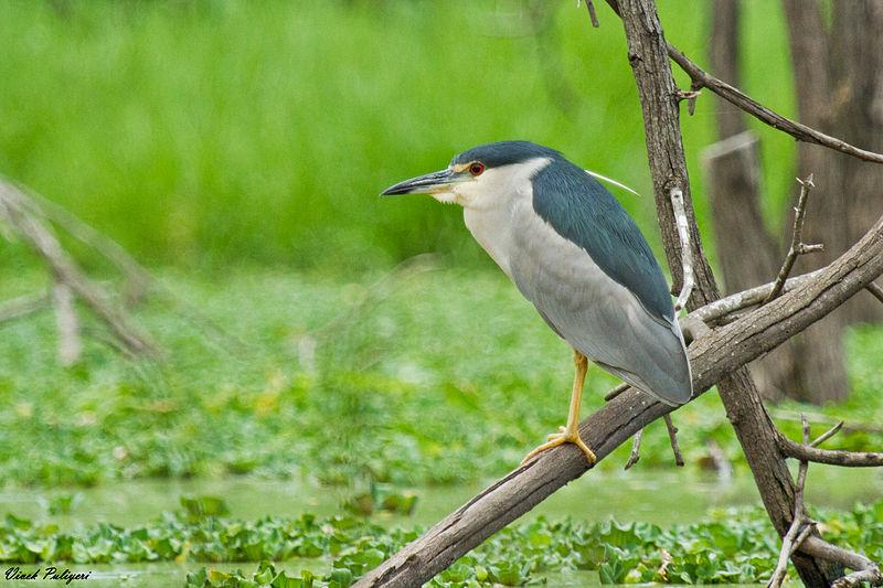 File:Black-crowned Night Heron @ IIT Madras.jpg