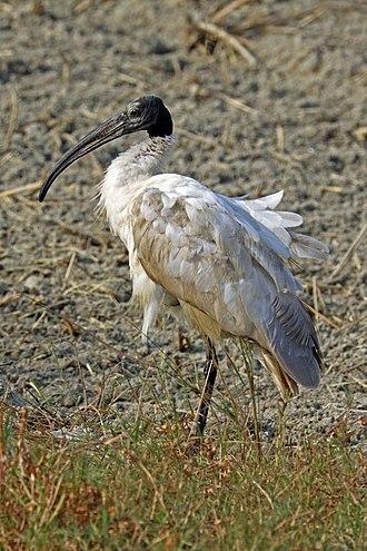 Threskiornis - Image: Black headed ibis (Threskiornis melanocephalus)