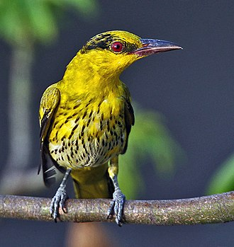 Black-naped oriole - Juvenile bird in Kolkata, West Bengal, India