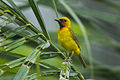Black-necked Weaver near Kakum - Ghana 14 S4E2483 (16011053070).jpg