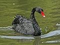 Black Swan RWD2.jpg