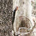 Black red jungle lizard.jpg