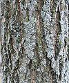 Black walnut bark 1.jpg